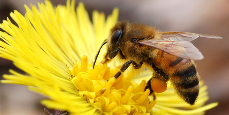 Honey bee with pollen loaded onto hind legs