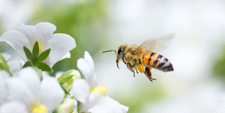 Flying honey bee with pollen on hind legs
