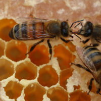 Honey bee workers transferring pollen