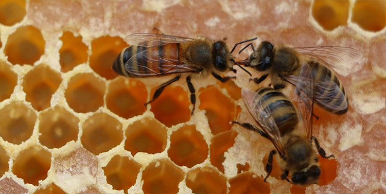 Honey bees transferring nectar from one to the other